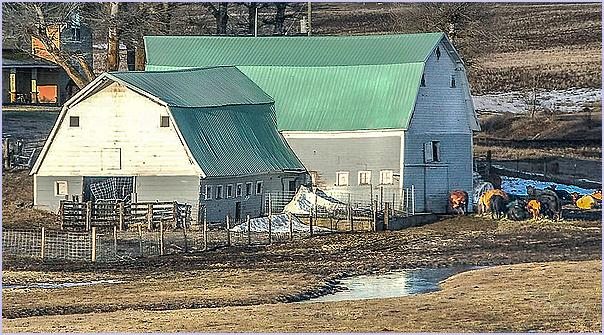 Barnyard and Cows