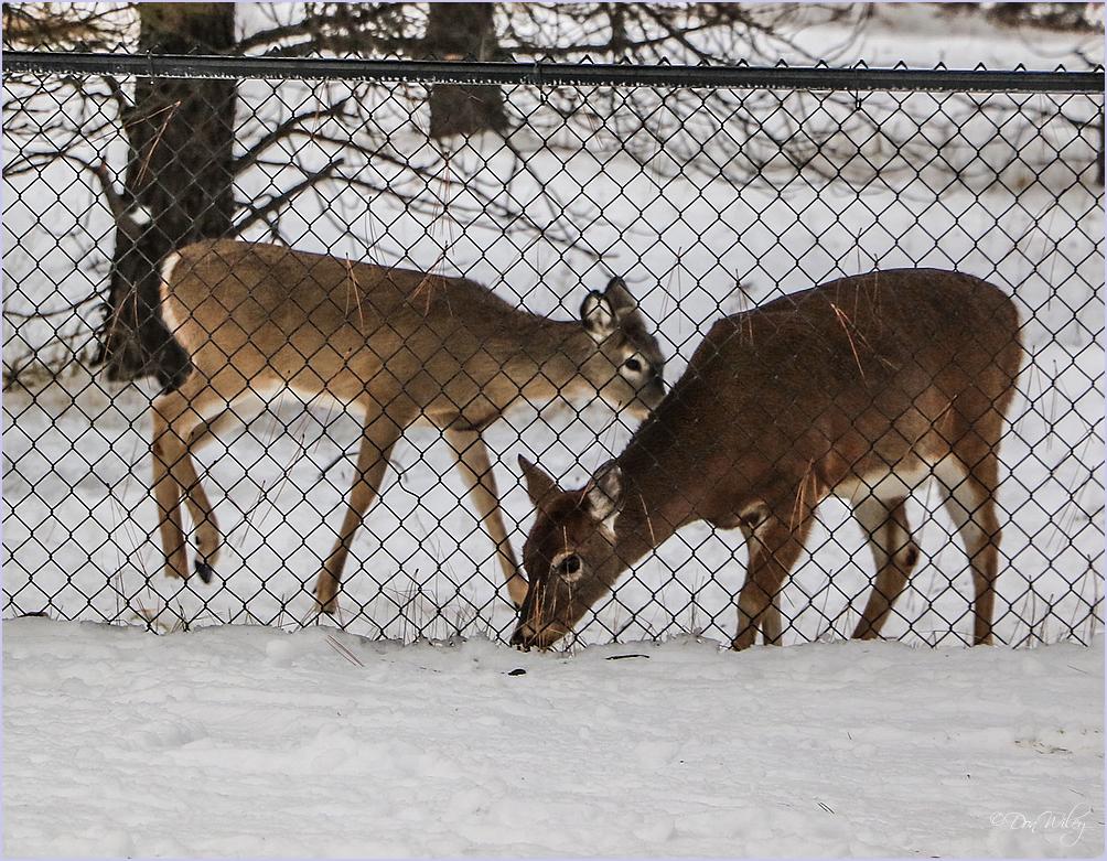 Two Deer Winter