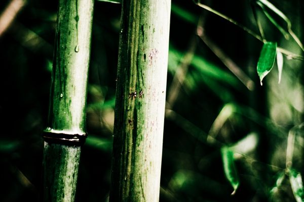 This is Bamboo, wet Bamboo