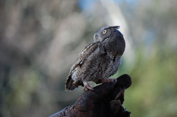 A shot of a small owl at Silver Springs park in FL