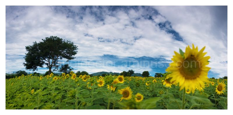 sun flower fields