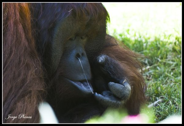 Orangutan mocoso