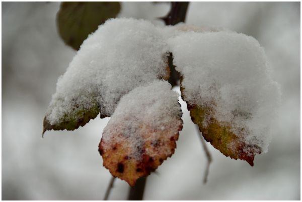 Nieve en las hojas