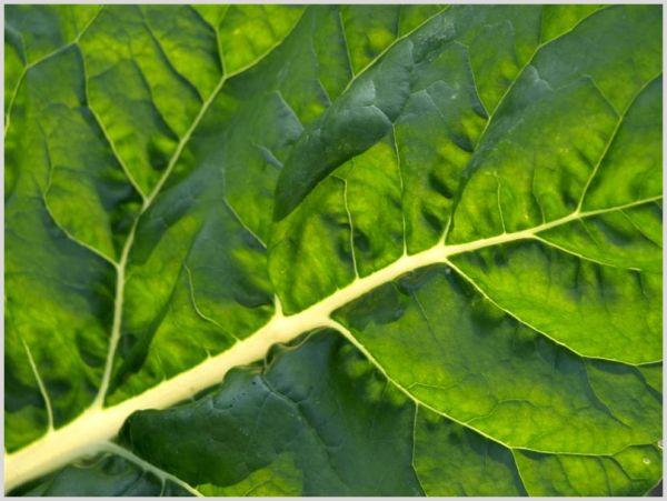 Swiss chard leaf