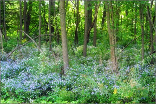 woodland asters