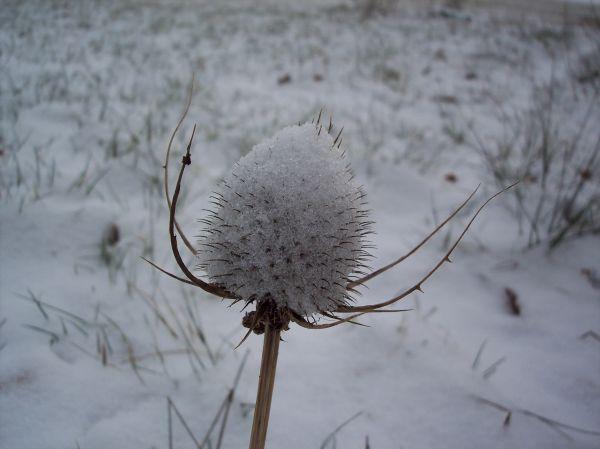 chardon en habit d'hiver
