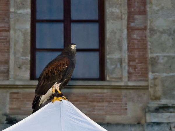 Bird of prey perching on tent
