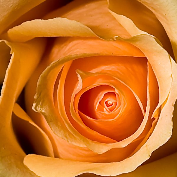 A close up picture of a rose