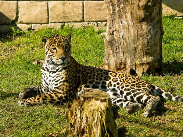 A jaguar at ease