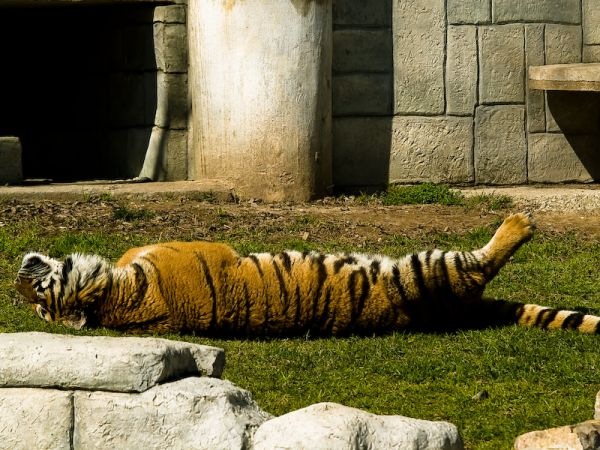 A tiger having a nap