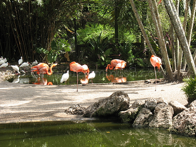 Flamingoes at Flamingo Gardens, Florida
