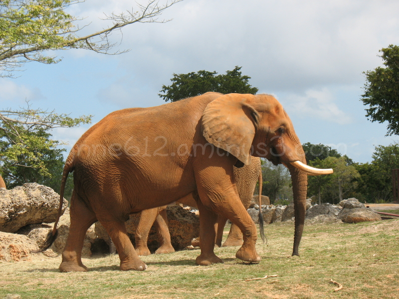 African Elephants in Miami