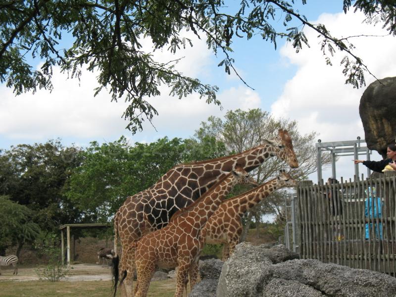 Feeding time at the Miami Zoo.
