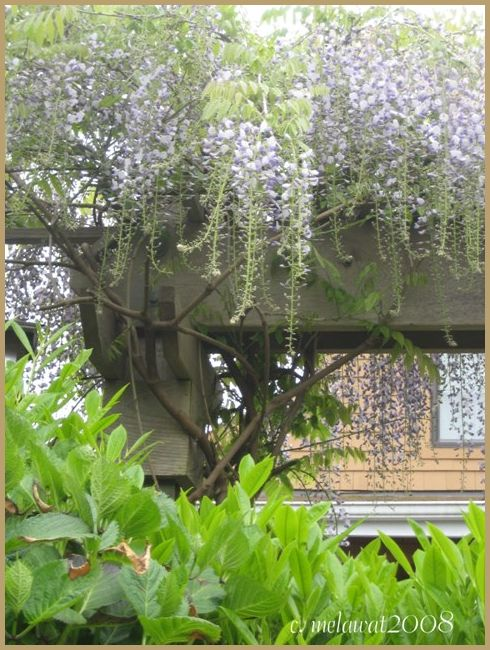 Hanging Purple FLowered Vines