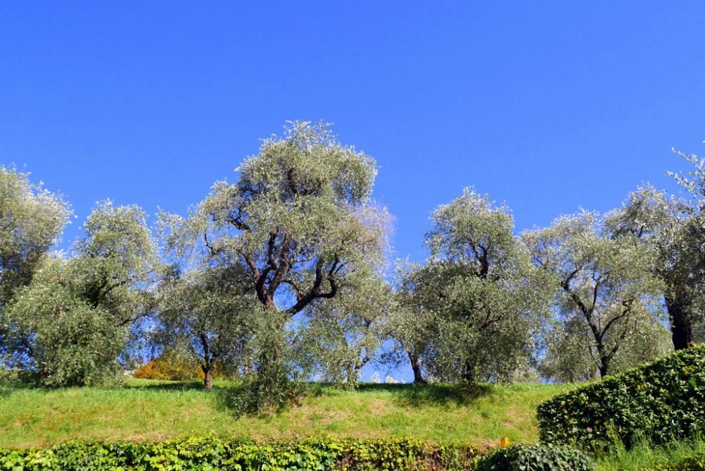 oliviers et vent ...