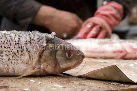 fish,iran