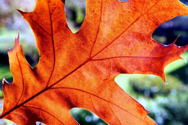 Folla de Quercus rubra