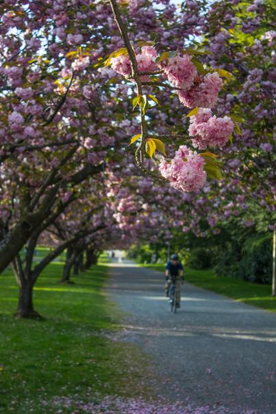 Sakura & Cyclist