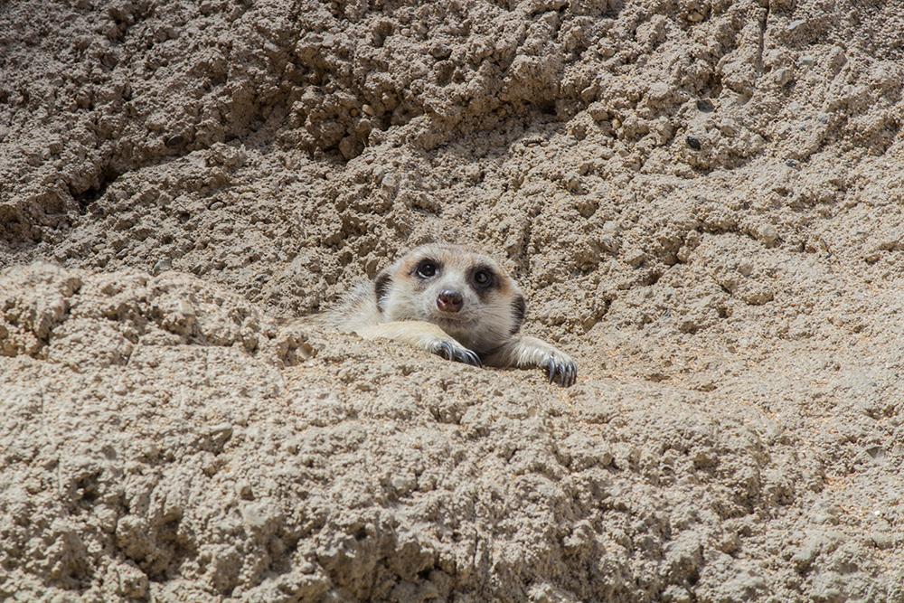 Relaxing Meerkat
