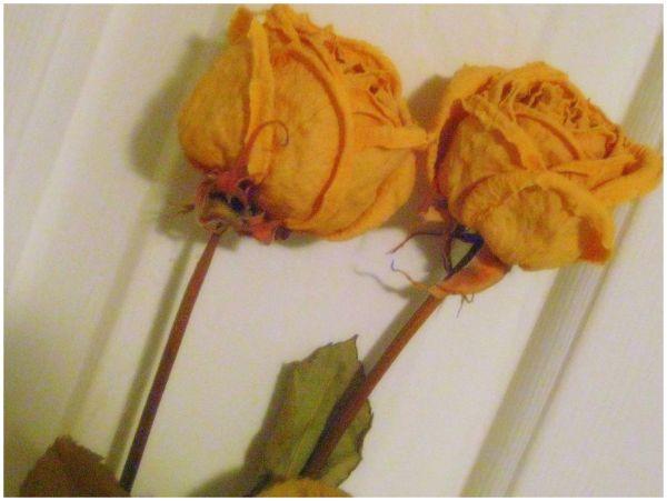 Yello Roses