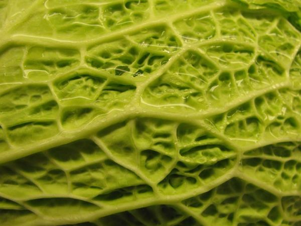 A water-covered cabbage.