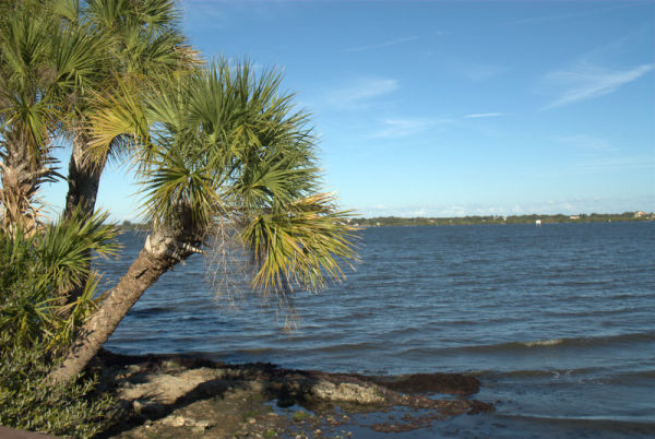 Indian River Palm Tree