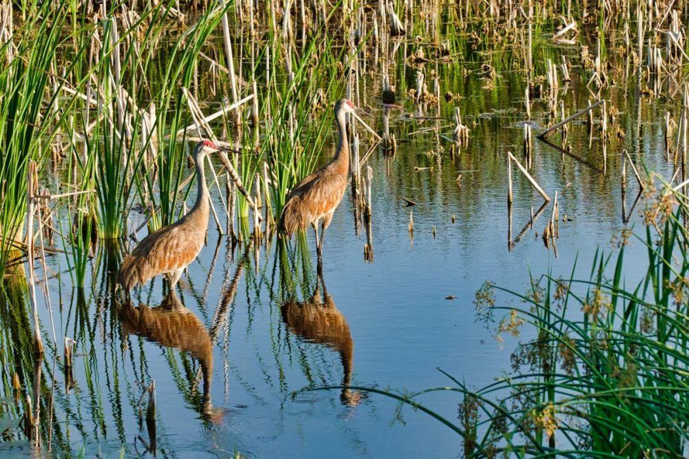 Sandhill Cranes Reflecting