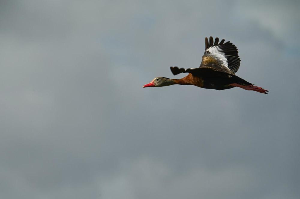 Black Bellied Whistler Duck