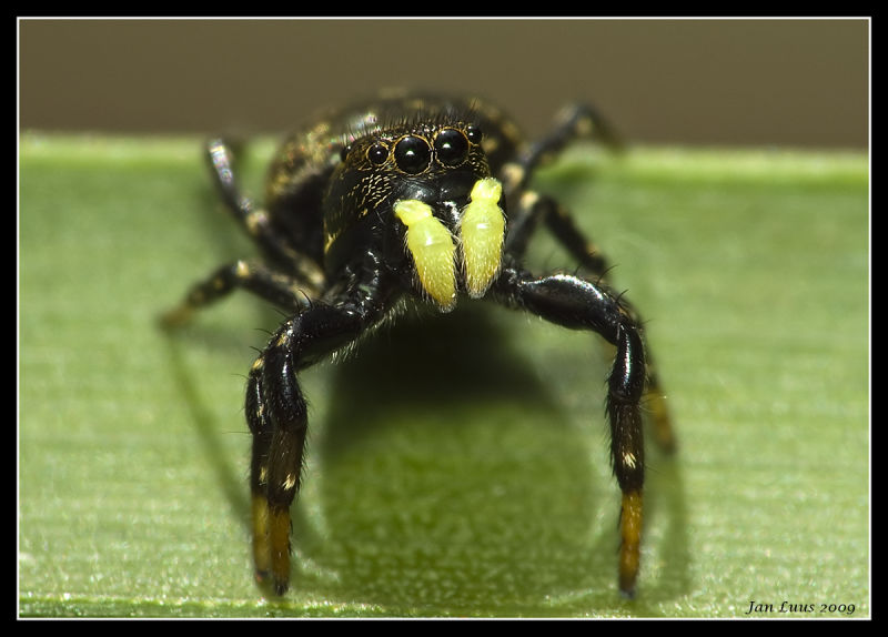 Mean Spider face-on jan luus