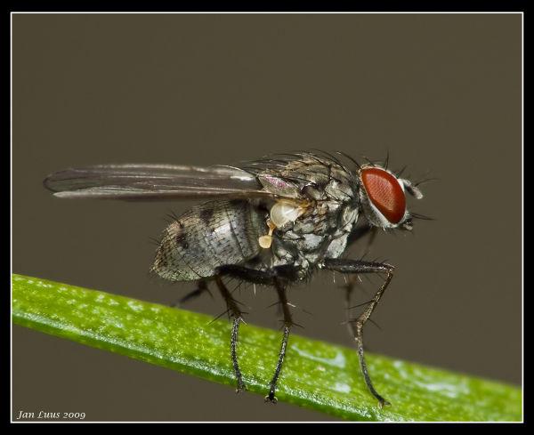 Wet Fly