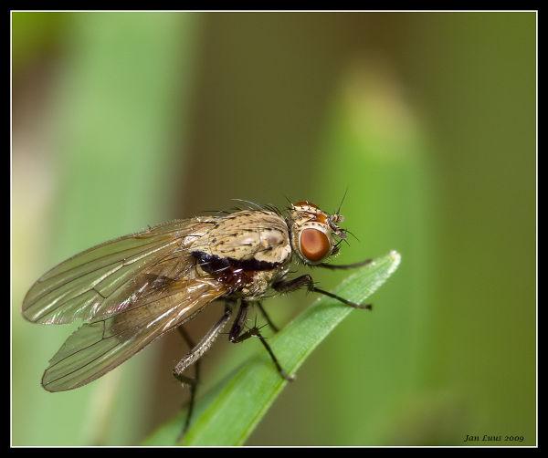 close-up fly macro jan luus