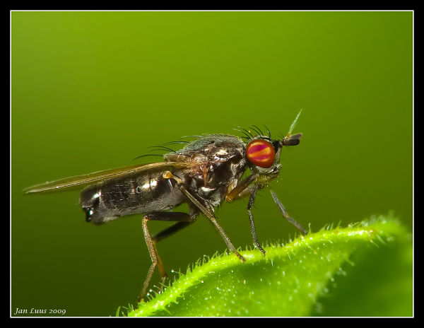 fly macro close-up jan luus