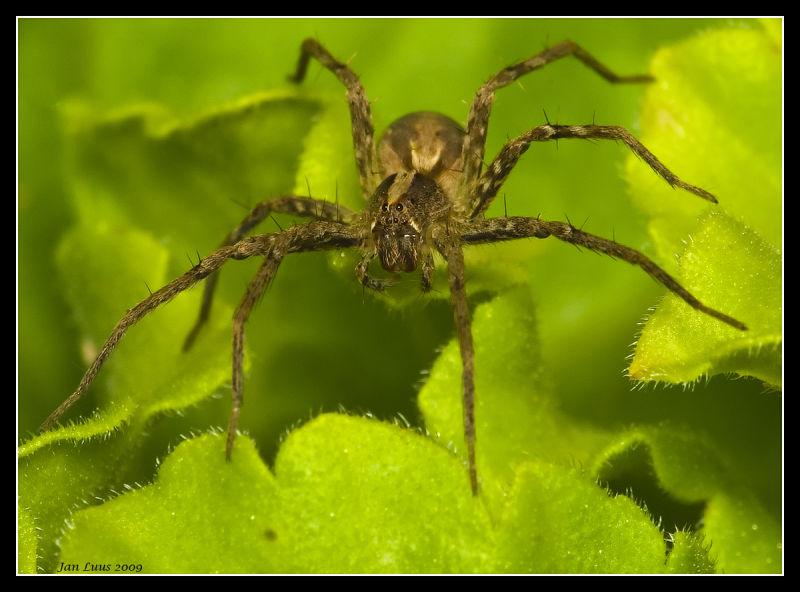Close-up macro of Spider jan luus