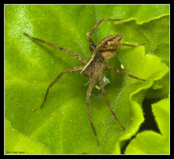 Hungry Spider jan luus macro close-up