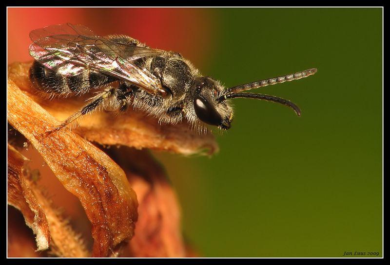 bee close-up macro jan luus