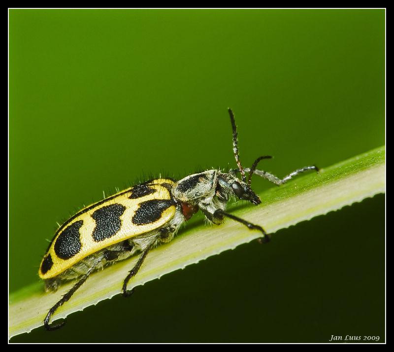 beetle close-up macro jan luus