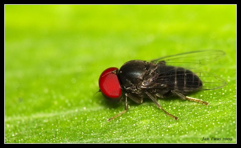fly macro close-up jan luus