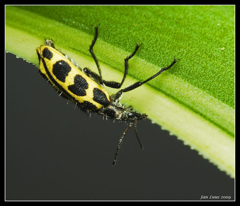 Yellow bug macro close-up jan luus