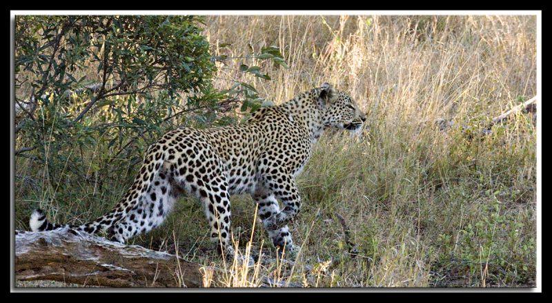 leopard Canon 450D 70-300mm IS USM