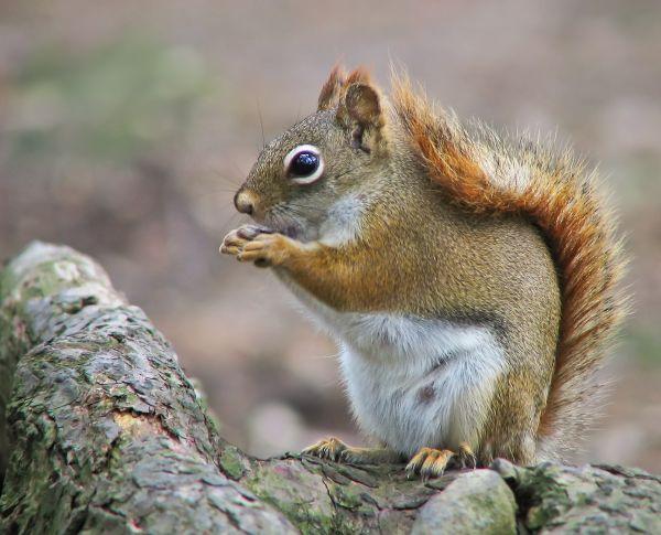 Écureuil roux (femelle)