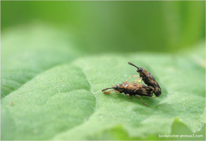 Insectes - copulation