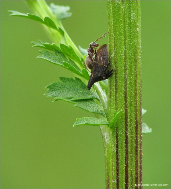 Campylenchia latipes et Fourmi