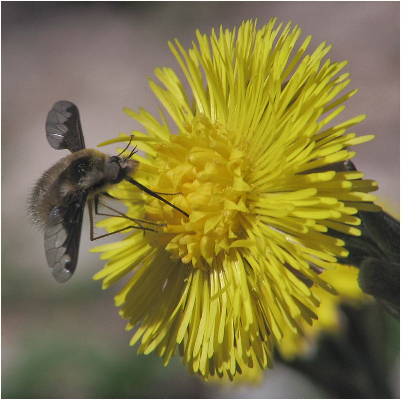 Bombyle sur Tussilage