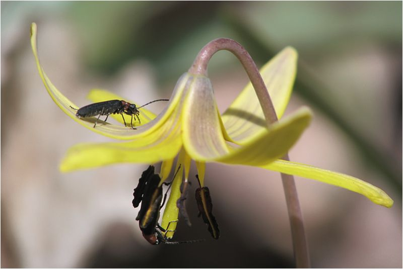 Insectes sur Érythrone d'Amérique