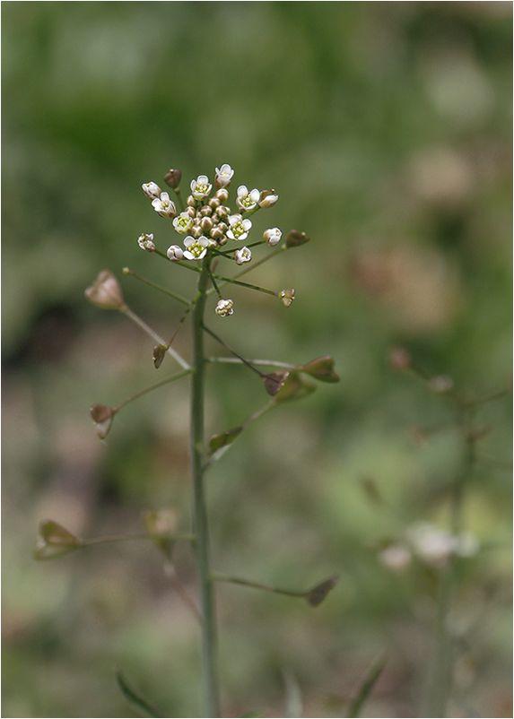 Bourse-à-pasteur (Capsella bursa-pastoris)