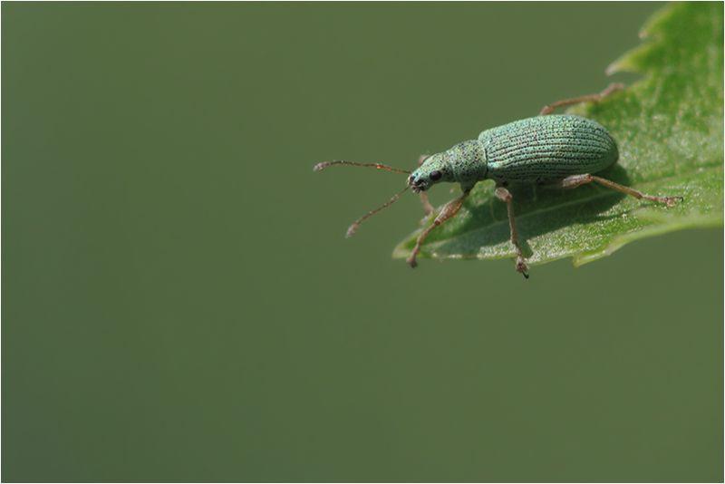 Charançon (Curculionidae)
