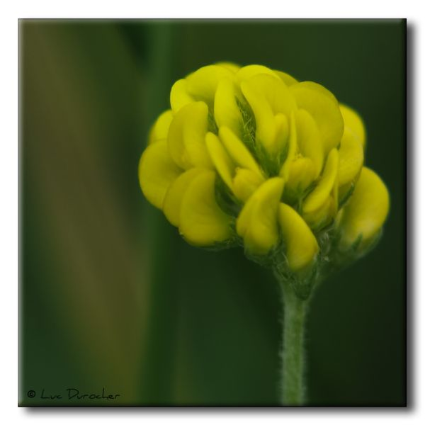 Trèfle couché (Trifolium procumbens)