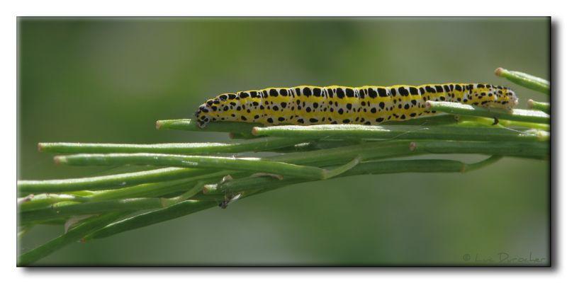 Calophasia lunula - Toadflax Brocade