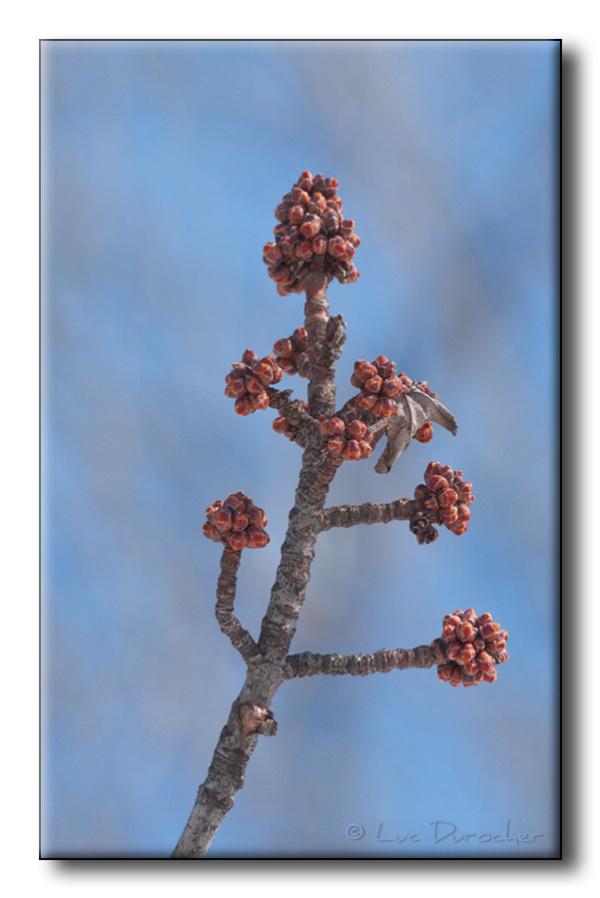 Bougeons de fleurs d'érable