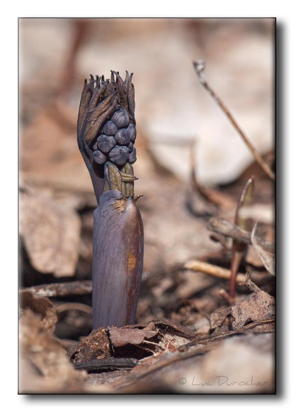 Caulophylle faux-pigamon